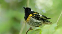 Νεοζηλανδέζικο hihi: Το πουλί με τα μεγαλύτερα γεννητικά όργανα συμμετέχει σε