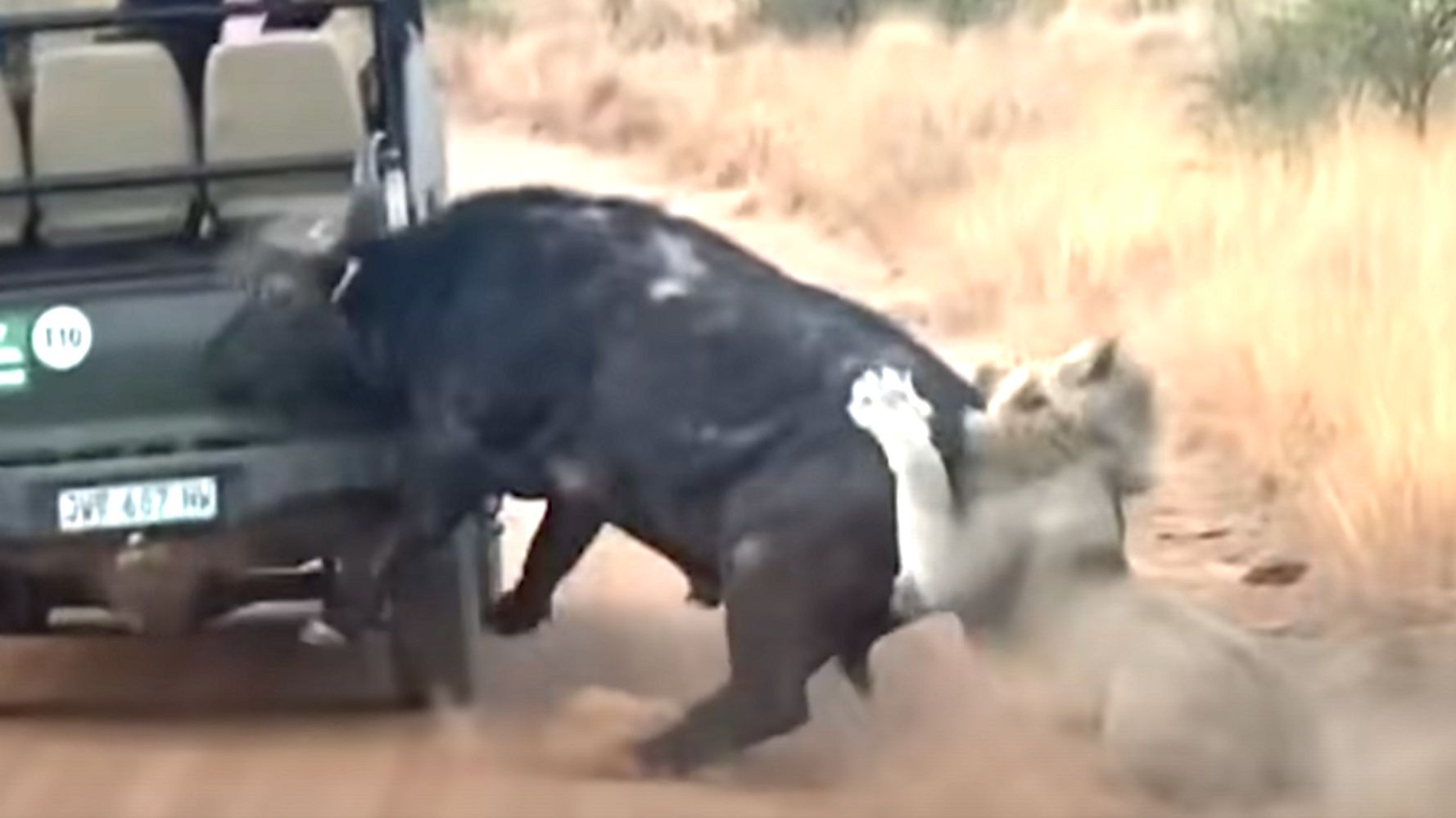 Lions Attack Buffalo, Buffalo Rams Jeep In Chaotic Chase