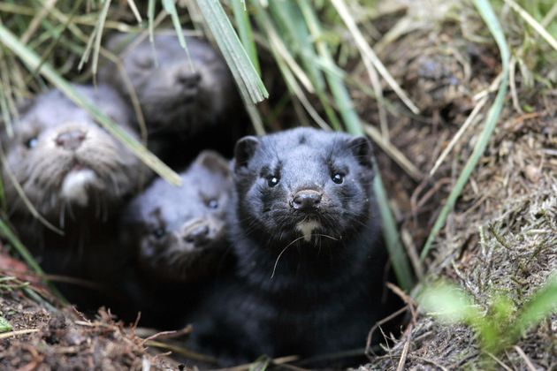 A group of mink take shelter in a hole in the ground after they and more than 10,000 others were released...