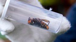 'Murder Hornet' Nest Found With 200 Queens