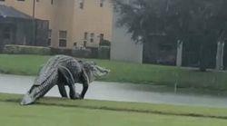 巨大ワニがゴルフ場に出没。大きすぎる姿に「フェイク?」説も専門家「これくらいは驚きじゃない」