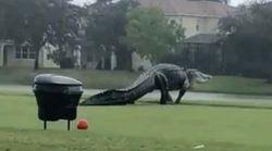 Cette vidéo d'un énorme alligator a surpris tout le monde, mais pas les