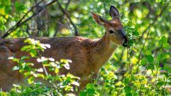 Une pétition contre l'abattage de cerfs à Longueuil prend de