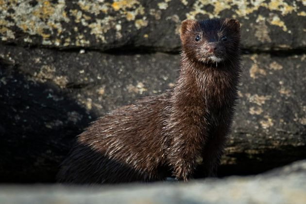 Front view of mink (Neovison vison) looking at camera, Sola,