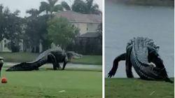ΗΠΑ: Αλιγάτορας γιγαντιαίων διαστάσεων έσπειρε τον πανικό στη