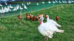 Η Δανία θανατώνει 25.000 κοτόπουλα αφότου εντόπισε κρούσματα γρίπης των πτηνών σε