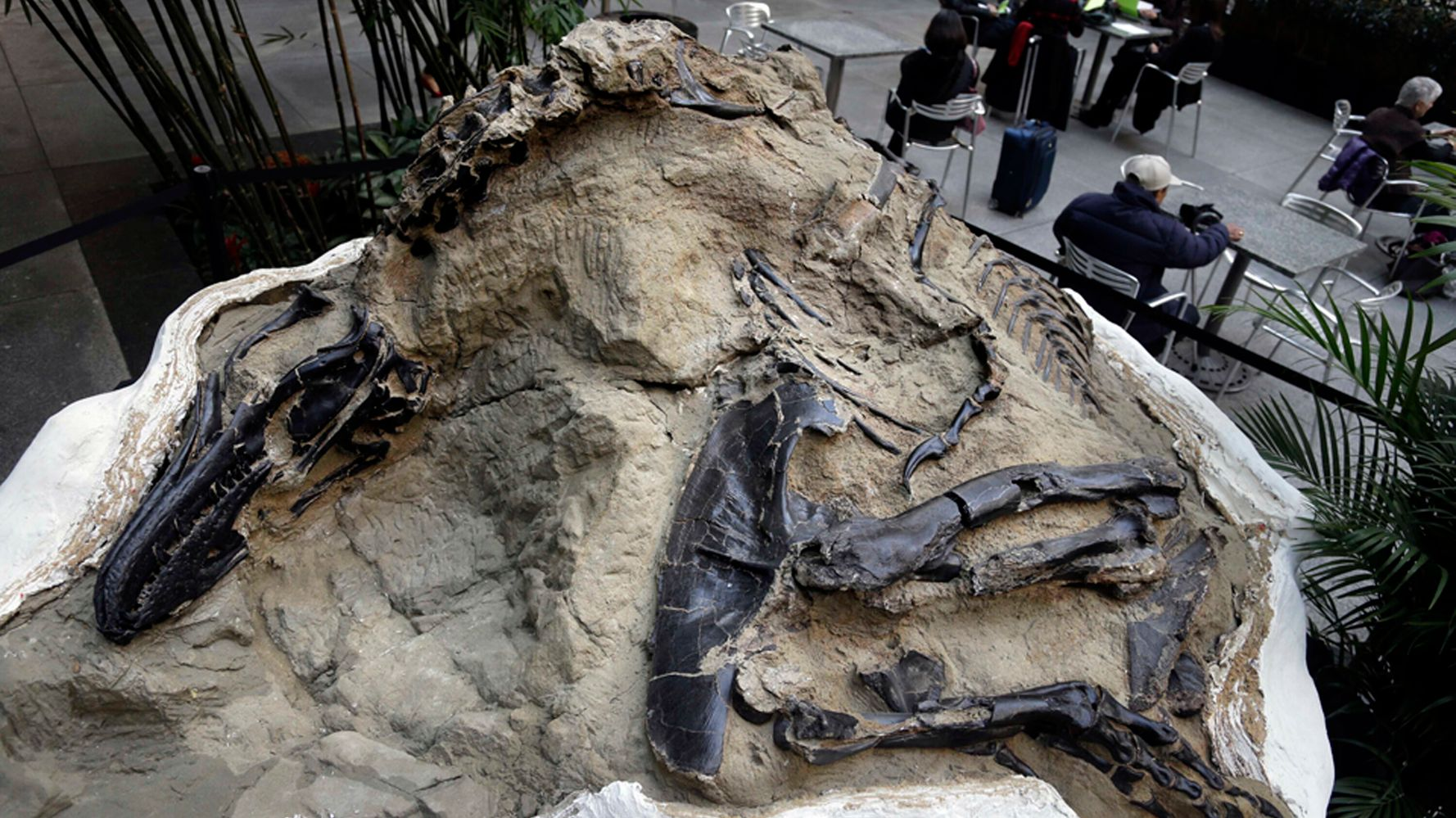 'Dueling Dinosaurs' Fossils Donated To North Carolina Museum