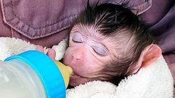 世界で初めて成功。子宮移植したサルが出産。ヒトへの実施にも意欲を見せる