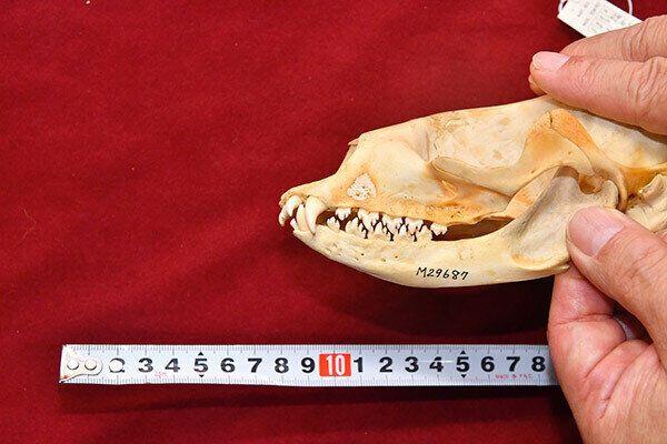 바이칼물범의 어금니는 톱니처럼 변형돼 플랑크톤을 사냥한 뒤 입을 다문 채 물을 빼낼 수 있는 구조다.