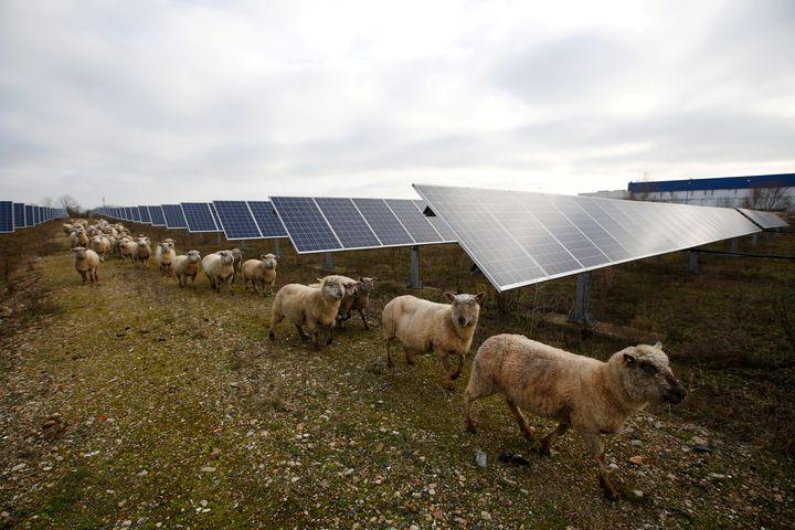 Des moutons traversent une centrale photovoltaïque à Allonnes, dans la Sarthe. Image d'illustration.