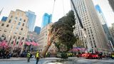 IMAGE DISTRIBUTED FOR TISHMAN SPEYER - The 2020 Rockefeller Center Christmas tree, a 75-foot tall, 11-ton Norway Spruce from Oneonta, N.Y., is craned into place, Saturday, Nov. 14, 2020, in New York. The tree is presented to New York and the world by Tishman Speyer, the owners of Rockefeller Center. (Diane Bondareff/AP Images for Tishman Speyer)