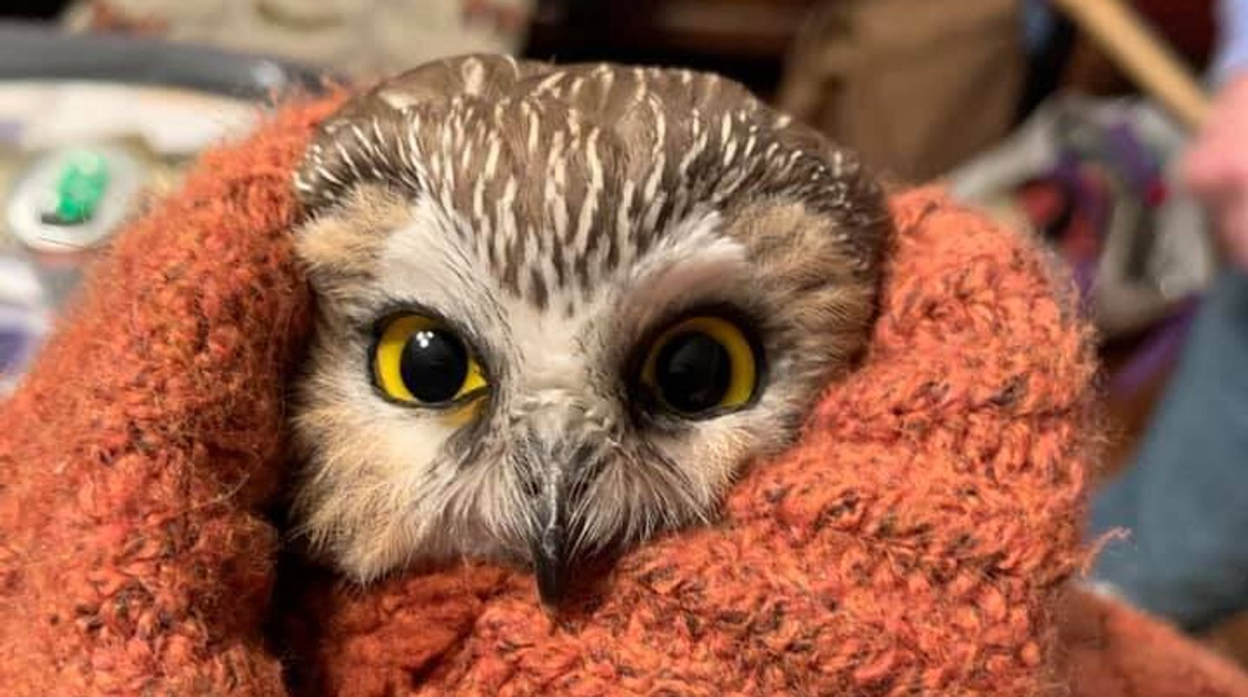 Tiny Owl Found In Rockefeller Center Christmas Tree After Long Journey To NYC