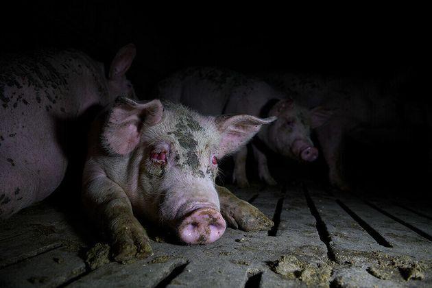 돼지들은 염증으로 인한 안구질환, 종양, 탈구, 탈장 등의 심각한 질병 등을 앓고