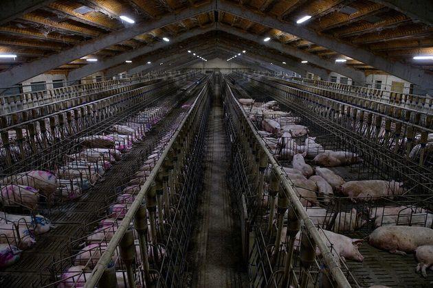 스페인 내에서 사육되는 돼지의 수는 약 5000만 마리로, 유럽 전체 내애서 가장