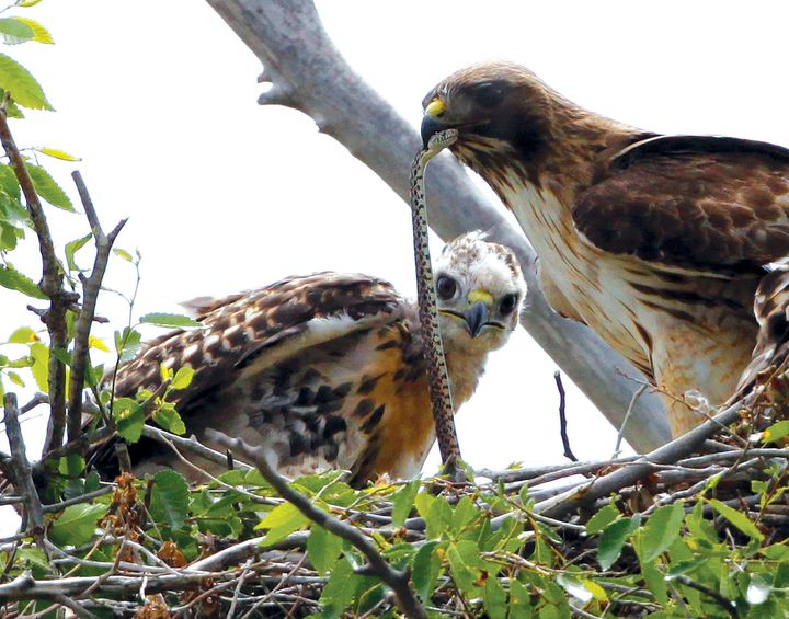 This June 5, 2009, file photo shows a Redtail hawk feeding a snake to one of her young ones nested at the Rocky Mountain Wild
