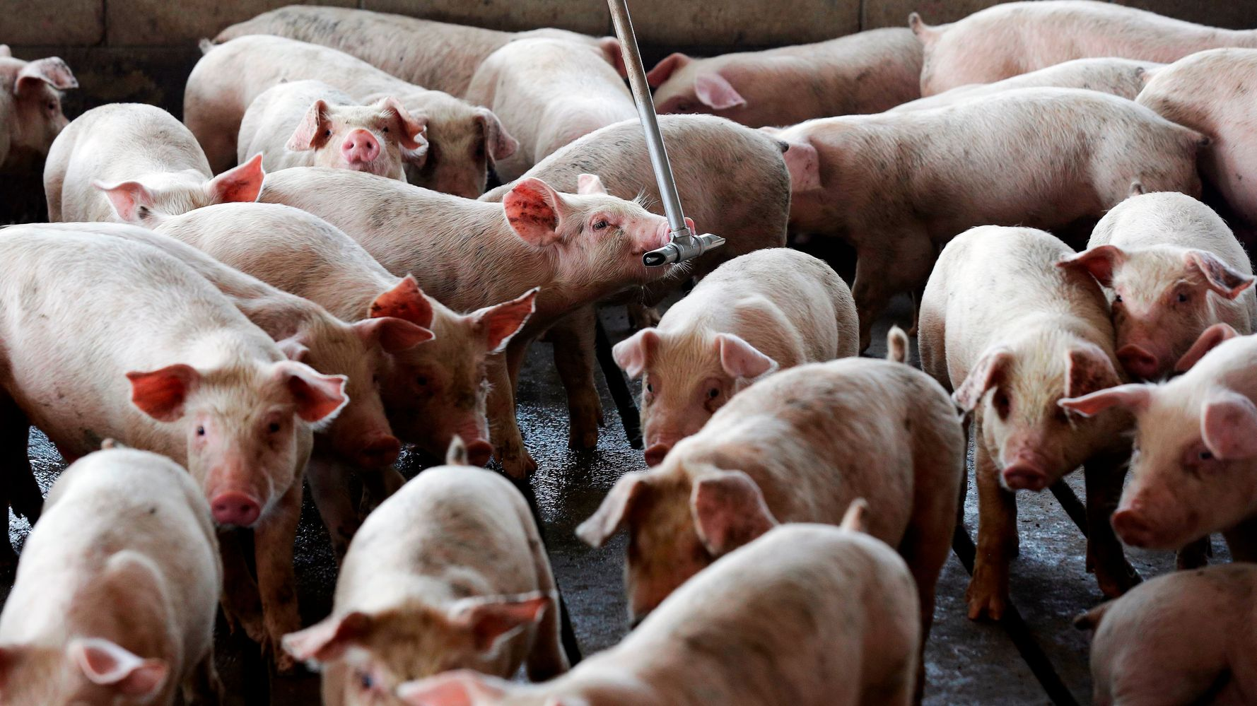 Court Upholds Verdict That Smithfield Must Pay For Making Life Near Hog Operation Miserable