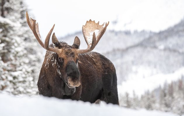 A moose in Jasper National Park,