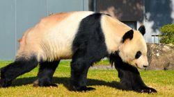 白浜で2年ぶり、17頭目のパンダの赤ちゃん誕生。お父さんは人間ならなんと80代...