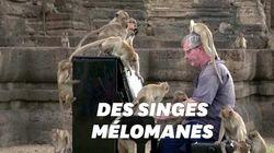 Il joue du piano pour des singes affamés en