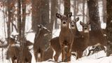 Herd of white-tailed deer gather in the forest