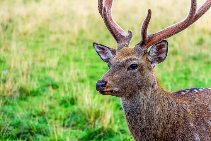 Cervus nippon, flower spotted deer walking and feeds on in forest of National Park