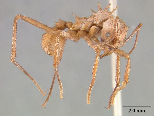L'armure blanche de la fourmi Acromyrmex echiniator, recouverte d'épines, est visible sur cette photo,...