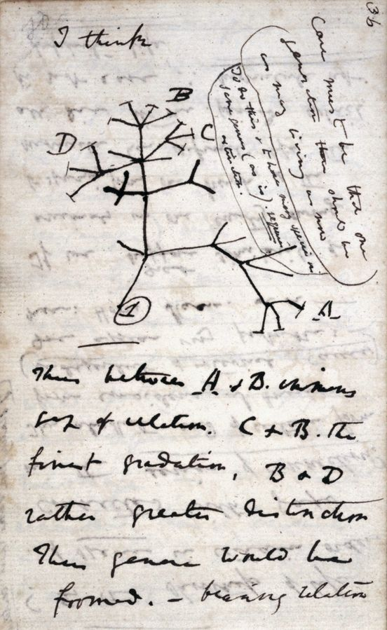 """Les carnets de Charles Darwin ont disparu, notamment celui contenant cette esquisse d'""""arbre..."""