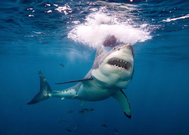 Πού οφείλεται το ρεκόρ επιθέσεων από καρχαρίες στην