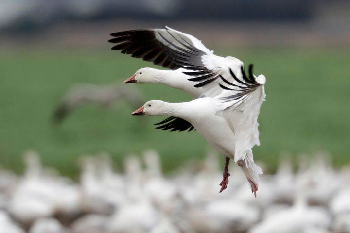 A pair of snow geese land among thousands of others on a field at their winter grounds in the Skagit Valley, near Conway, Was