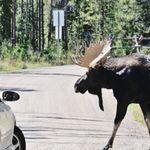 Προσοχή:«Μην αφήνετε τις άλκες να γλείψουν το αυτοκίνητό