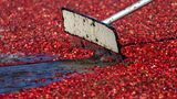 In this Oct. 11, 2016 photo, a worker uses a paddle to move cranberries floating in a bog during harvesting on a farm in Ilwaco, Wash. Each fall, cranberry bogs in Western Washington produce solid hues of vibrant red as one of the state's lesser-known crops is harvested before Thanksgiving. (AP Photo/Ted S. Warren)
