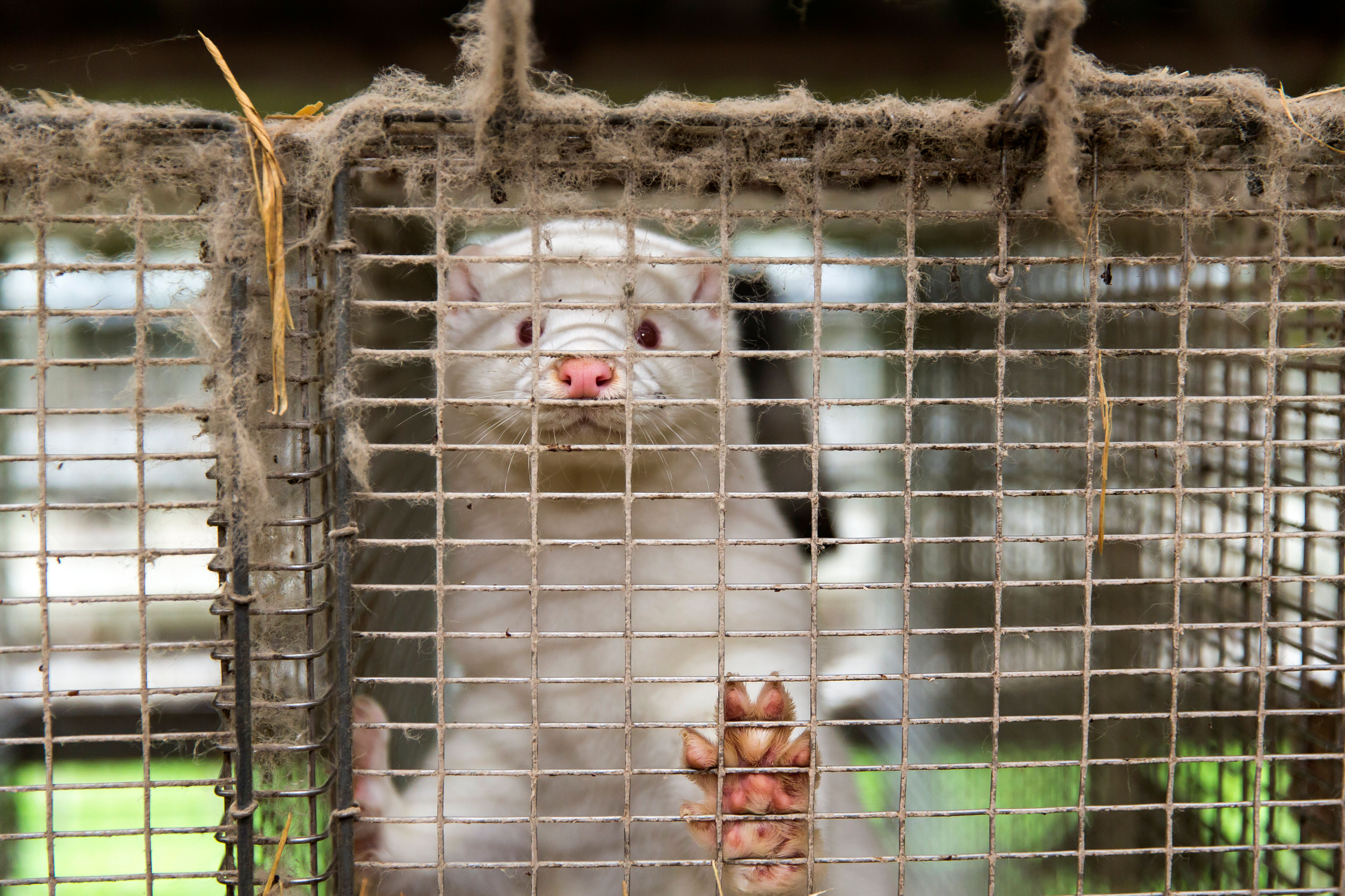 'Zombie' Minks Culled Over COVID-19 Fears Are Rising From Their Mass Graves