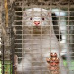 'Zombie' Minks Culled Over COVID-19 Fears Are Rising From Their Mass