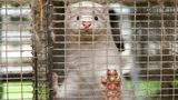 JYLLINGE, DENMARK - NOVEMBER 14:  Minks at farmer Knud Vest estate  on November 14, 2020 in Jyllinge, Denmark. After a Covid-19 mutation moving from mink to humans was discovered, the Danish government's order to mass cull all 17 million mink in the country, including non-infected minks and minks outside the 7.8 KM zone from an infected farm. Tuesday this week Minister of Food, Mogens Jensen, admitted that the general mass culling order issued by the Prime Minister at a press conference Wednesday, October 4, was unlawful and he said that his Food Boards email was a mistake.  Knud Vest, who farm has some  23.000 minks, says that he is shocked that the Government issued such an order to kill an entire industry without having the legal framework in place. Like the mink farmer in general he expects a compensation from the state based on expropriation, because the basis for the industry is gone.  He must have culled all minks at midnight Monday in order to receive an extra bonus of 20 DKK/skin. (Photo by Ole Jensen/Getty Images)