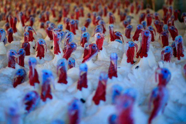 Imagen de archivo de pavos destinados a servir de cena en el Día de Acción de Gracias,...
