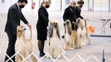 THE NATIONAL DOG SHOW -- 2020 -- Pictured: Afghan Hounds -- (Photo by: Bill McCay/NBC/NBCU Photo Bank via Getty Images)