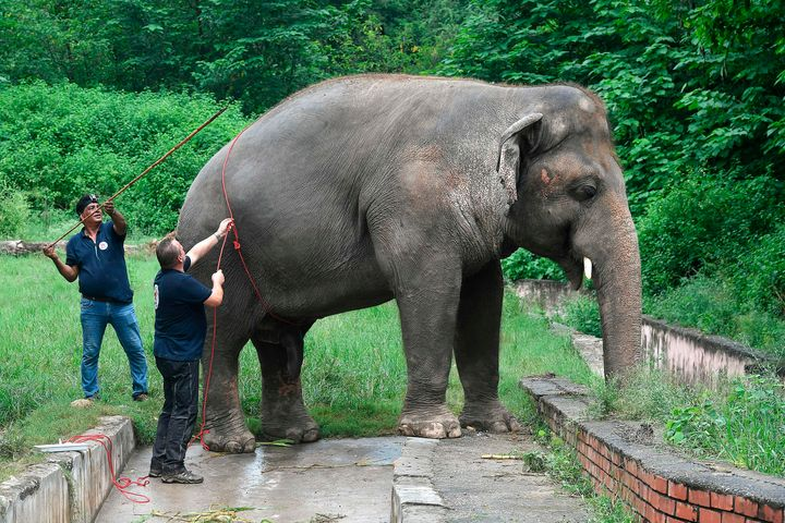 Veterinarians of Four Paws International measure Kaavan, the elephant slated to be moved to a sanctuary in Cambodia after it