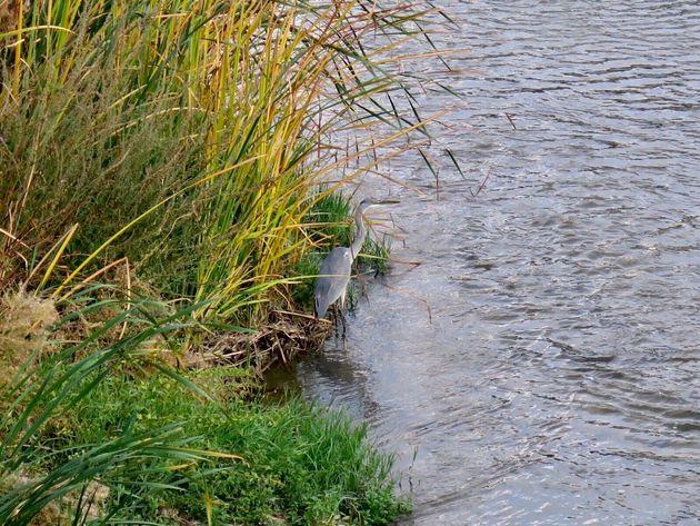 Una garza real en el río Manzanares,