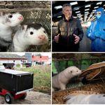 ミンク1000万匹殺処分の現実。世界最大の毛皮オークションは廃業へ