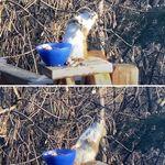 발효된 배 먹다가 얼큰하게 취한 다람쥐의 휘청이는 모습