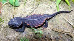 見た目は恐竜?人気爬虫類、後たたない違法捕獲。国際取引の規制強化へ