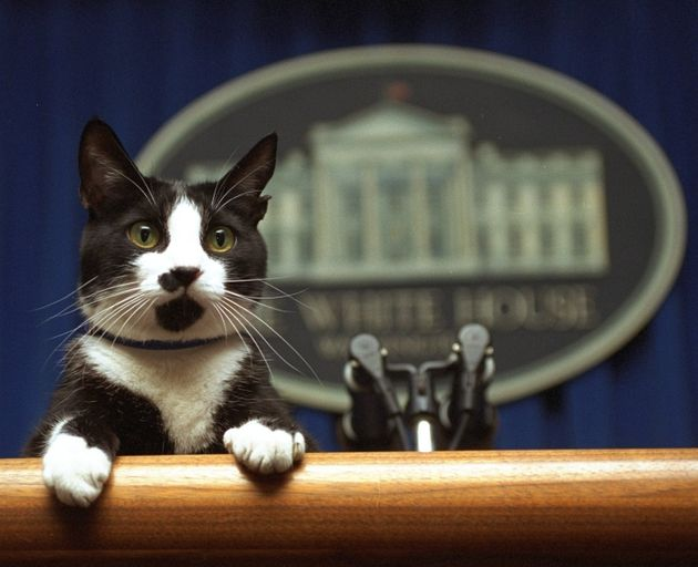 Socks the cat peers over the podium in the White House briefing room in Washington during the Clinton...