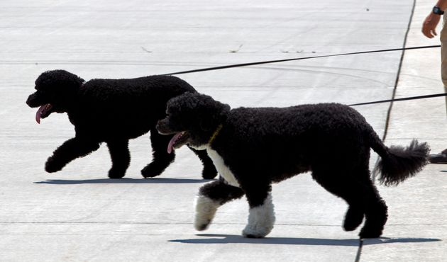 Bo and Sunny walk on the tarmac by their handlers to board Air Force One before the arrival of President...
