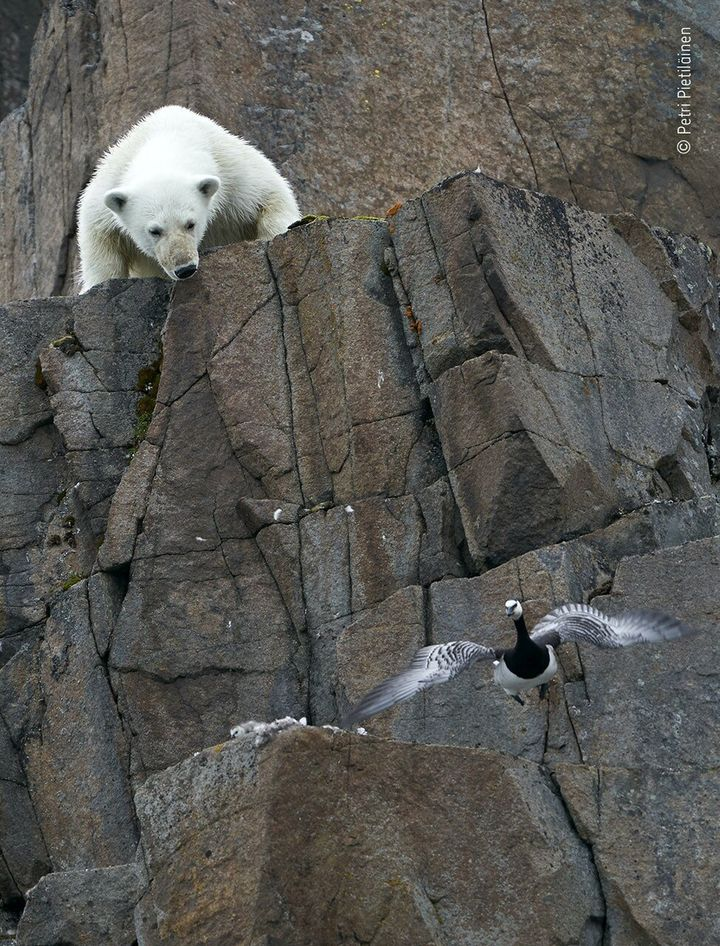 (Petri Pietilainen/Wildlife Photographer of the Year/PA)