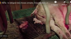 L214 dénonce les conditions insalubres des porcs Herta dans une nouvelle