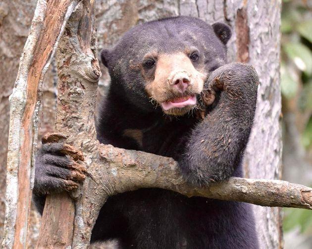 Le Centre de préservation des ours malais de Bornéo dépend des recettes engrangées...