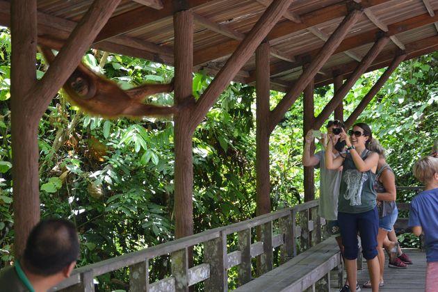 Des visiteurs observent de près un orang-outang au Centre de préservation des ours malais...