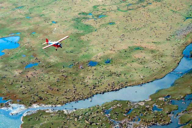 An airplane flies over caribou from the Porcupine Caribou Herd on the coastal plain of the Arctic National...