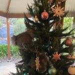 家に帰ったらクリスマスツリーにコアラが。一体なぜ?コアラはネットの人気者に
