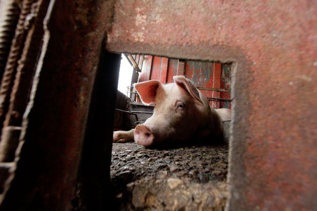 L'association opposée à l'élevage intensif L214 a dévoilé les images...